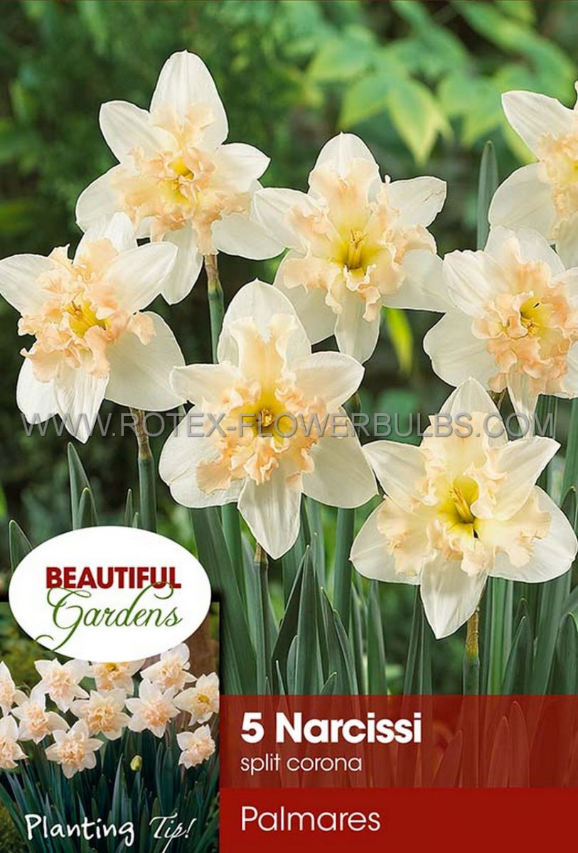 narcissus butterfly palmares 1416 8 pkgsx 5