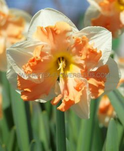 NARCISSUS BUTTERFLY 'SUNNY GIRLFRIEND' 14-16 (8 PKGS.X 5)