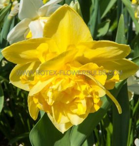 NARCISSUS DOUBLE 'DICK WILDEN' 14-16 (50 P.BINBOX)