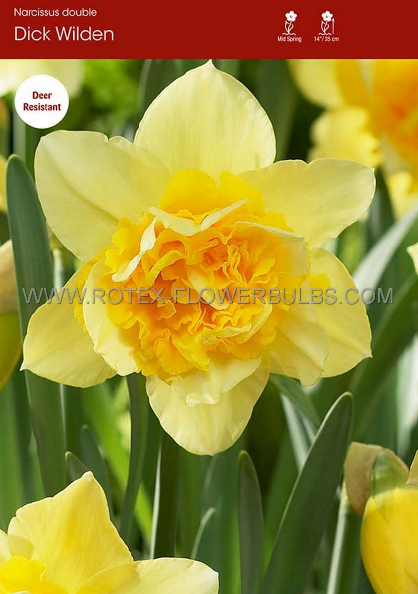narcissus double dick wilden 1416 50 pbinbox