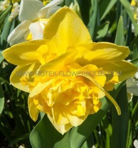 NARCISSUS DOUBLE 'DICK WILDEN' 14-16 (8 PKGS.X 5)