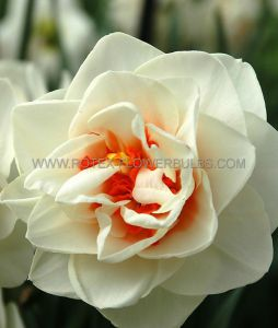 NARCISSUS DOUBLE 'FLOWER DRIFT' 14-16 (50 P.BINBOX)