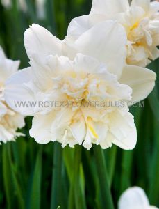 NARCISSUS DOUBLE 'ICE KING' 14-16 (50 P.BINBOX)
