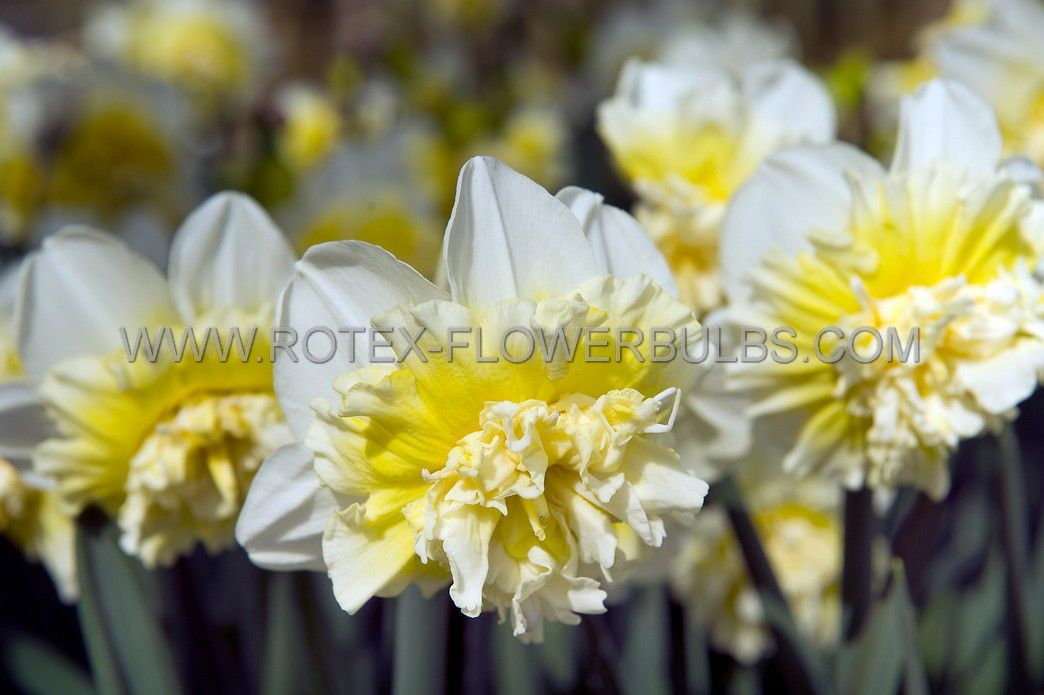narcissus double ice king 1416 50 pbinbox
