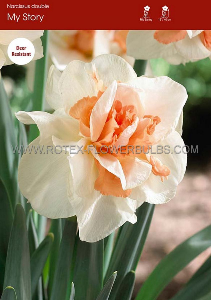 narcissus double my story 1416 50 pbinbox