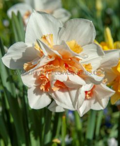 NARCISSUS DOUBLE 'MY STORY' 14-16 (8 PKGS.X 5)