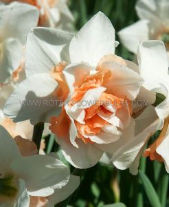 NARCISSUS DOUBLE 'REPLETE' 14-16 (50 P.BINBOX)