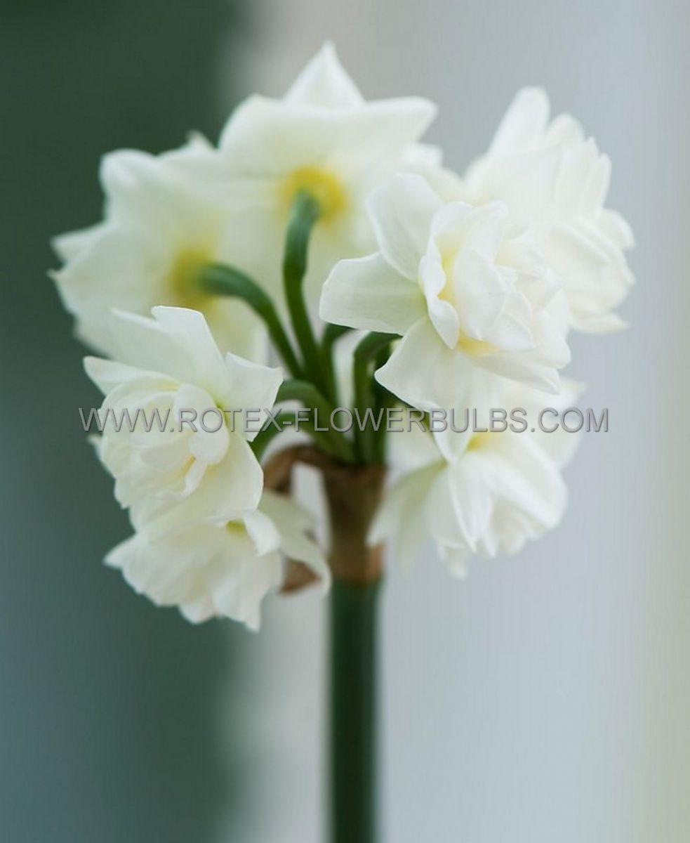 narcissus indoor forcing erlicheer 17 cm 100 pbinbox