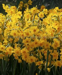 NARCISSUS INDOOR FORCING 'GRAND SOLEIL D'OR' 15/16 CM. (50 P.BINBOX)