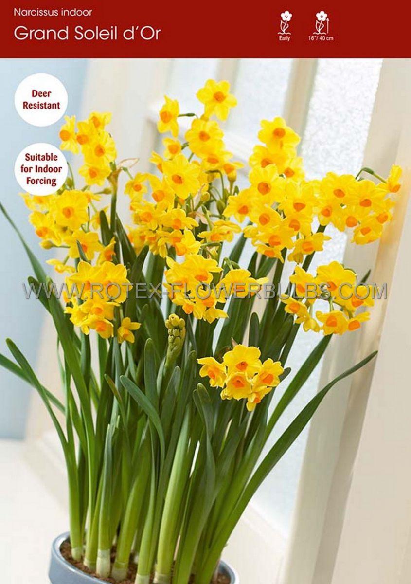 narcissus indoor forcing grand soleil dor 1516 cm 50 pbinbox