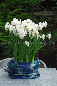NARCISSUS INDOOR FORCING PAPERWHITE 'INBAL' 16/17 CM. (150 P.WOODEN CRATE)