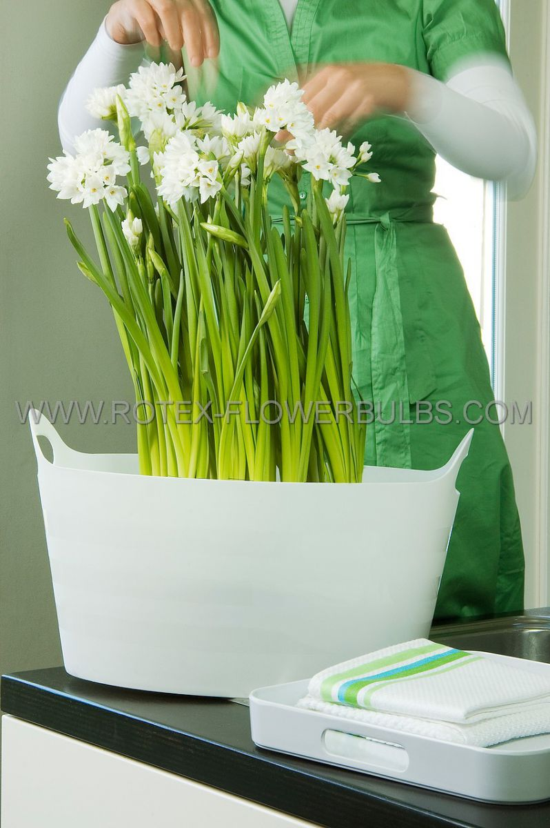 narcissus indoor forcing paperwhite ziva 1617 cm 300 pwooden crate