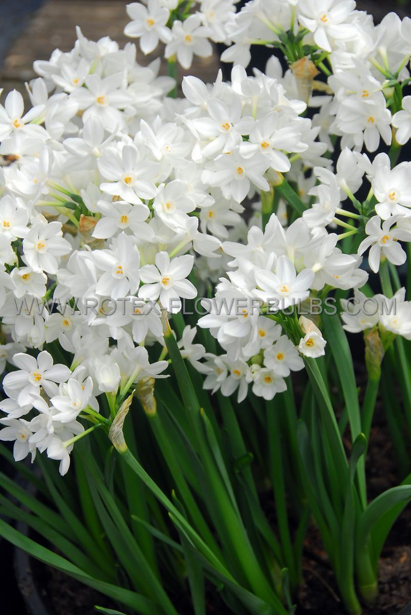 narcissus indoor forcing paperwhite ziva 16 cm 10 pkgsx 5