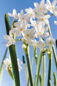 NARCISSUS INDOOR FORCING PAPERWHITE 'ZIVA' 16/+ CM. (100 P.BINBOX) (SEPT.DELIVERY)