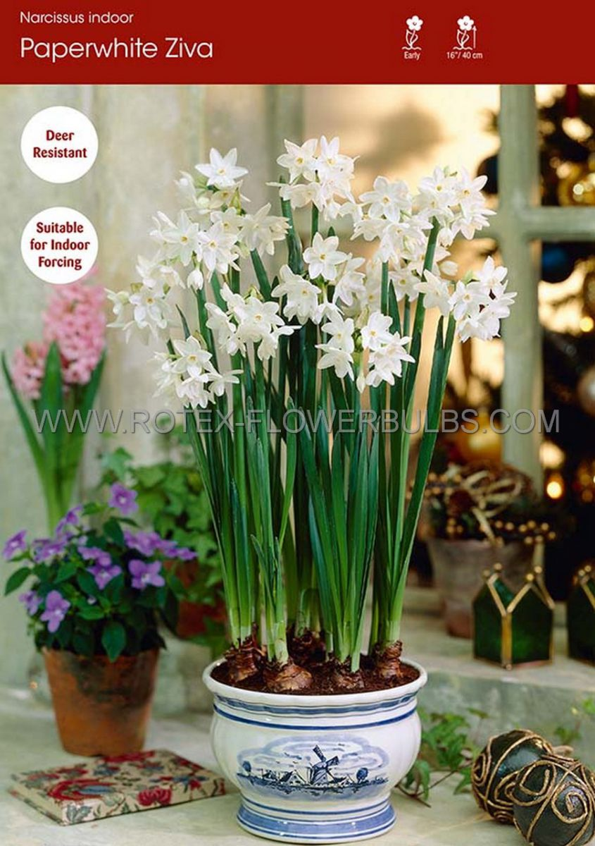 narcissus indoor forcing paperwhite ziva 16 cm 100 pbinbox