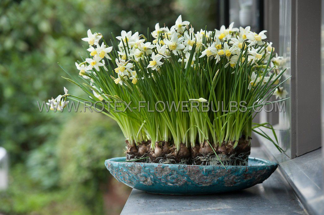 narcissus indoor forcing winter sun 17 cm 100 pbinbox