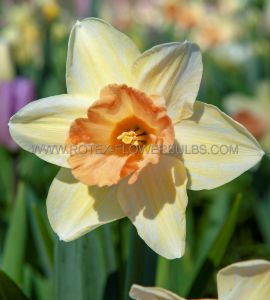 NARCISSUS LARGE CUPPED 'ACCENT' 14-16 (50 P.BINBOX)