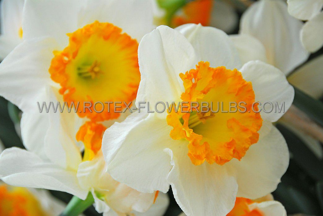 narcissus large cupped accent 1416 50 pbinbox