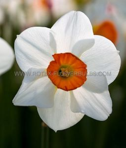 NARCISSUS LARGE CUPPED 'BARRETT BROWNING' 12-14 (300 P.PLASTIC TRAY)