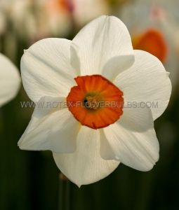 NARCISSUS LARGE CUPPED 'BARRETT BROWNING' 14-16 (200 P.PLASTIC TRAY)