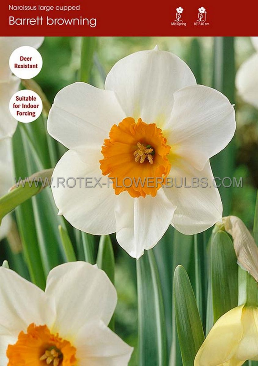 narcissus large cupped barrett browning 1416 200 pplastic tray