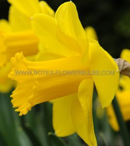 NARCISSUS LARGE CUPPED 'CARLTON' 12-14 (300 P.PLASTIC TRAY)
