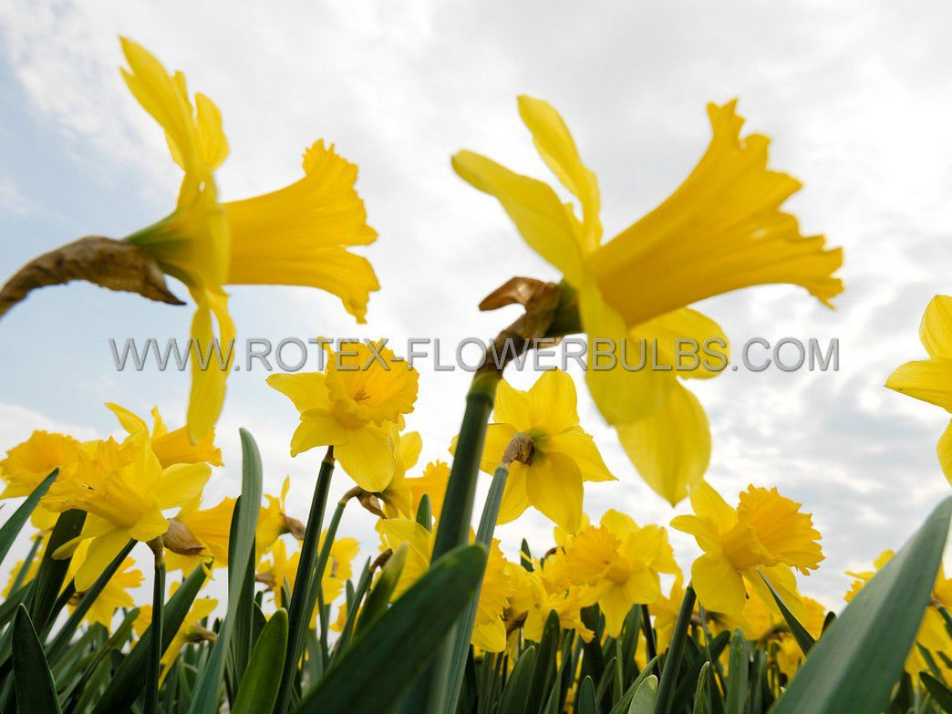 narcissus large cupped carlton 1416 50 pbinbox