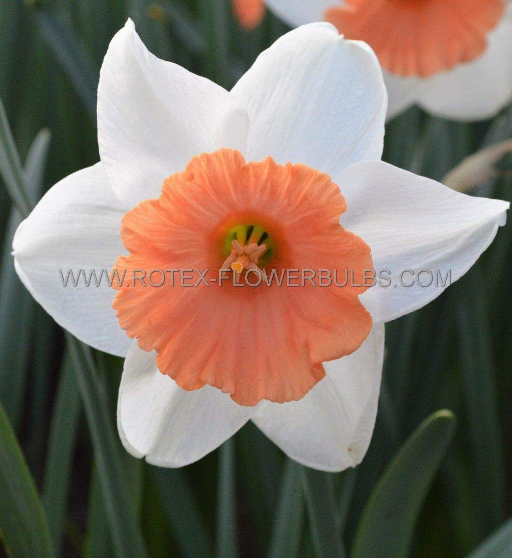 narcissus large cupped chromacolor 1416 50 pbinbox