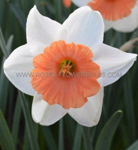 NARCISSUS LARGE CUPPED 'CHROMACOLOR' 14-16 (50 P.BINBOX)