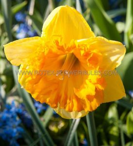 NARCISSUS LARGE CUPPED 'FERRIS WHEEL' 14-16 (50 P.BINBOX)