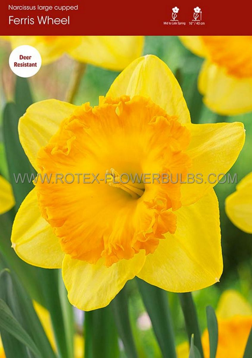 narcissus large cupped ferris wheel 1416 50 pbinbox