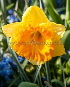NARCISSUS LARGE CUPPED 'FERRIS WHEEL' 14-16 (8 PKGS.X 5)