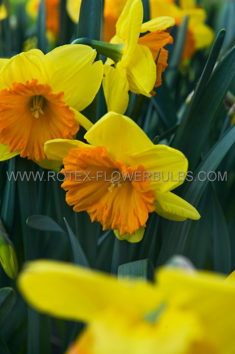 narcissus large cupped ferris wheel 1416 8 pkgsx 5