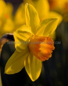 NARCISSUS LARGE CUPPED 'FORTUNE' 12-14 (300 P.PLASTIC TRAY)