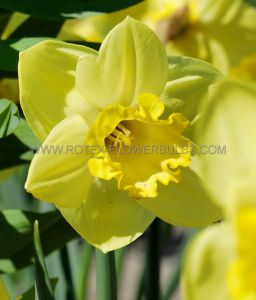 NARCISSUS LARGE CUPPED 'GOLDEN SALOME' 14-16 (50 P.BINBOX)