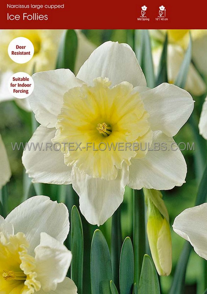 narcissus large cupped ice follies 1214 300 pplastic tray