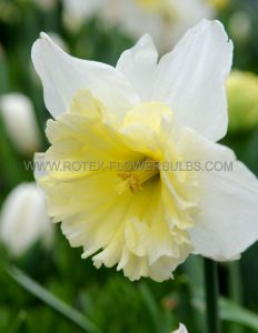 NARCISSUS LARGE CUPPED 'ICE FOLLIES' 14-16 (200 P.PLASTIC TRAY)