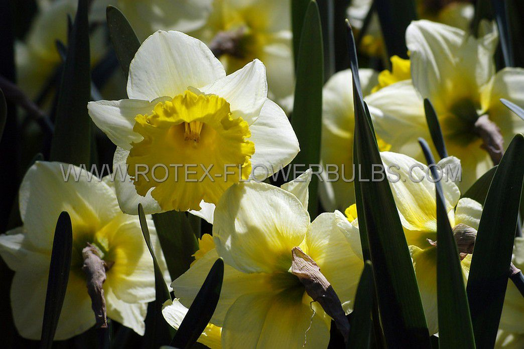 narcissus large cupped ice follies 1416 200 pplastic tray