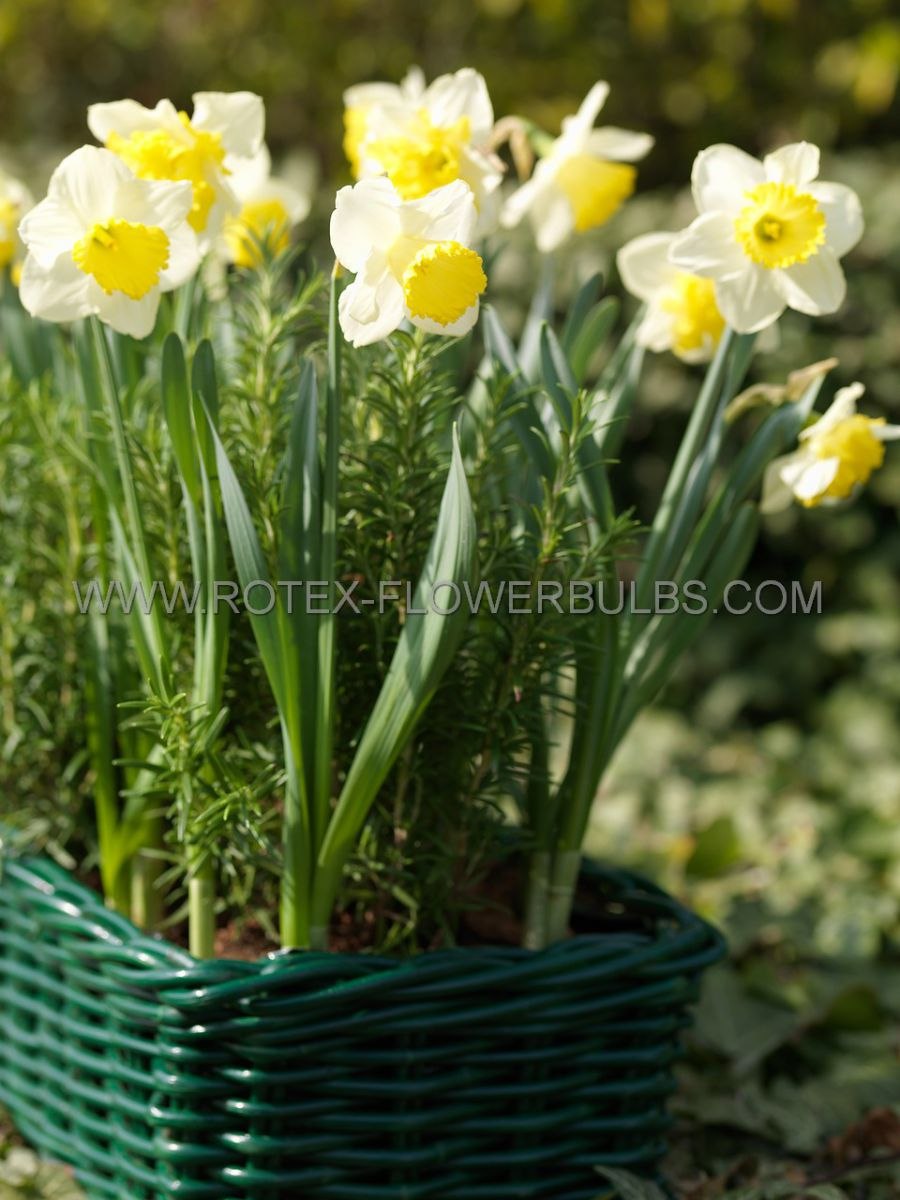 narcissus large cupped ice follies 1416 8 pkgsx 5