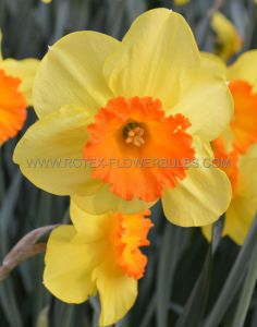NARCISSUS LARGE CUPPED 'LOVE DAY' 14-16 (50 P.BINBOX)