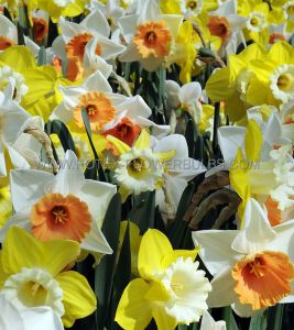 NARCISSUS LARGE CUPPED 'MIX' 14-16 (50 P.BINBOX)