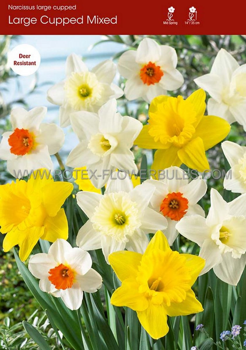 narcissus large cupped mix 1416 50 pbinbox