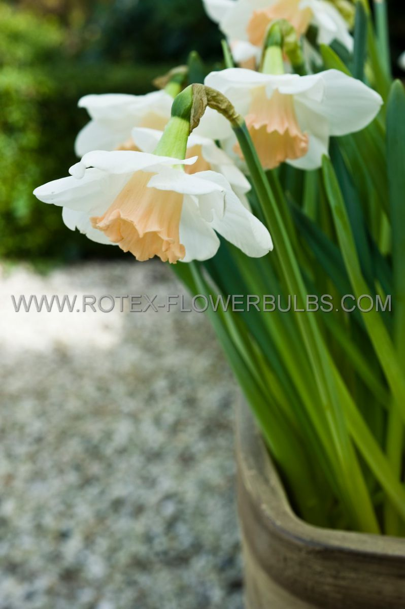 narcissus large cupped passionale 1416 50 pbinbox