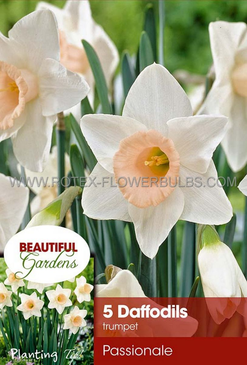 narcissus large cupped passionale 1416 8 pkgsx 5