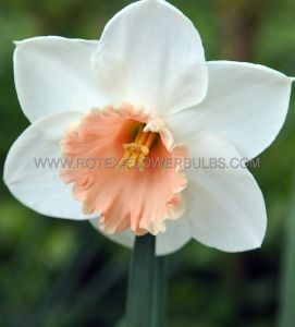 NARCISSUS LARGE CUPPED 'PASSIONALE' 16-18 (150 P.PLASTIC TRAY)