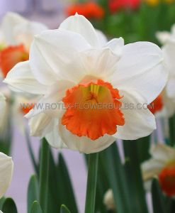NARCISSUS LARGE CUPPED 'PINK CHARM' 12-14 (300 P.PLASTIC TRAY)