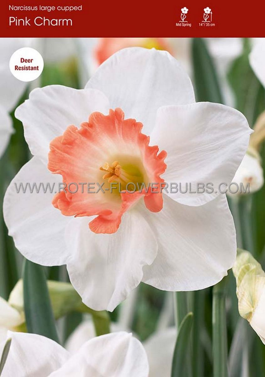 narcissus large cupped pink charm 1416 50 pbinbox