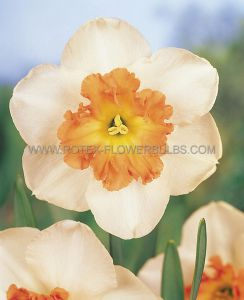 NARCISSUS LARGE CUPPED 'PRECOCIOUS' 14-16 (8 PKGS.X 5)