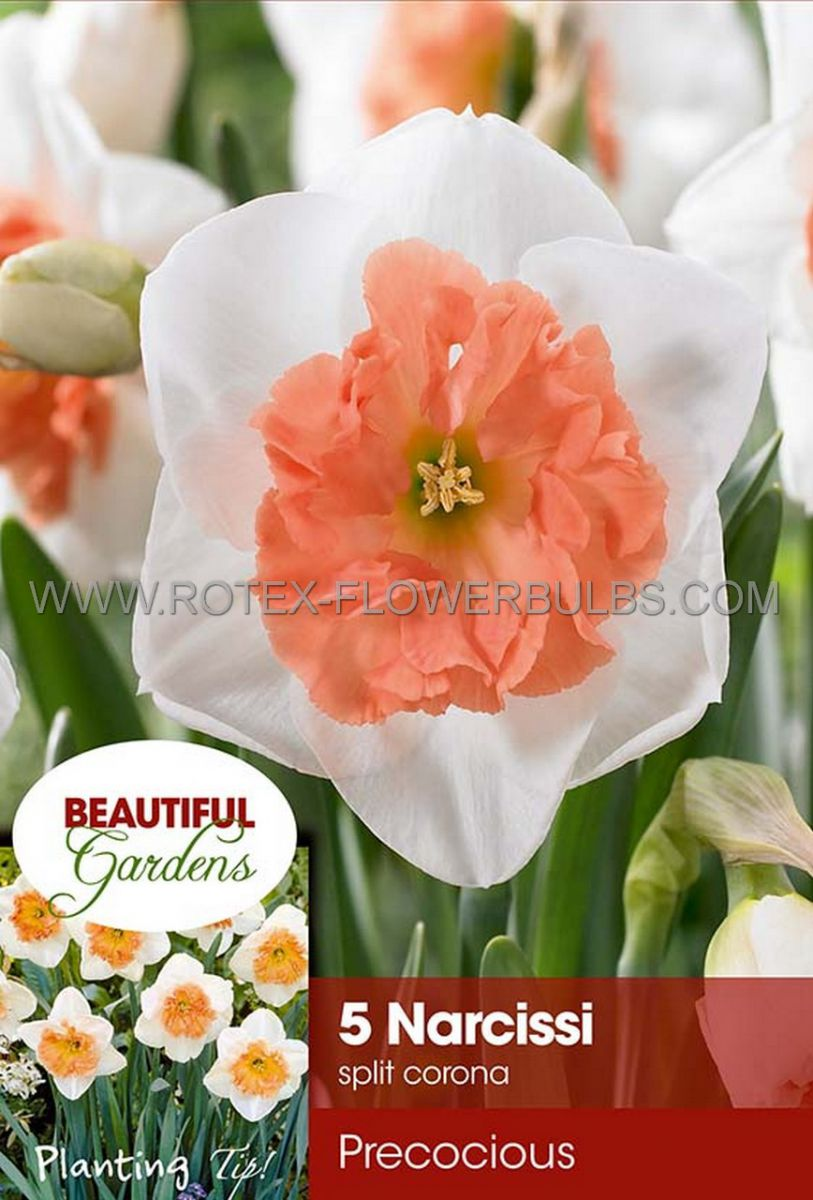 narcissus large cupped precocious 1416 8 pkgsx 5