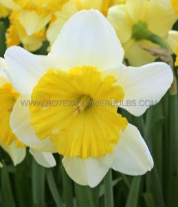 NARCISSUS LARGE CUPPED 'RAOUL WALLENBERG' 14-16 (50 P.BINBOX)